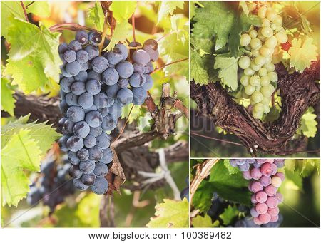 Beautiful ripe bunch grapes collage