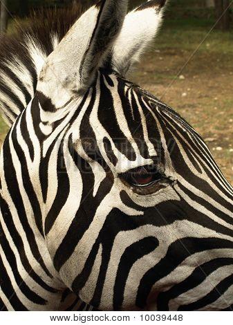 Grant's Zebra Close Up