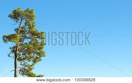 One Pine Tree And Blue Sky