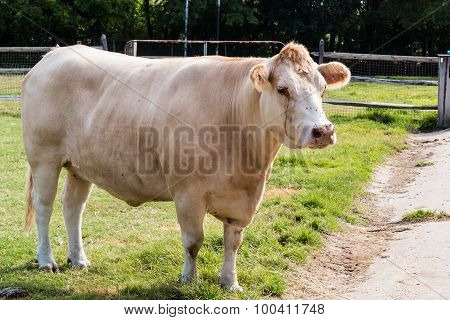White Cow in Pasture