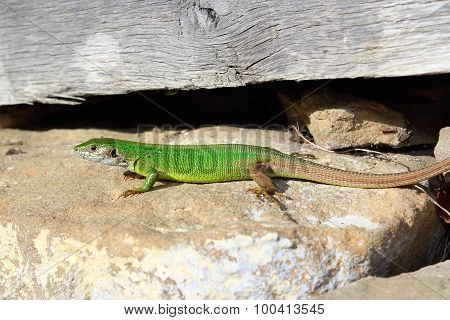 Male European Green Lizard