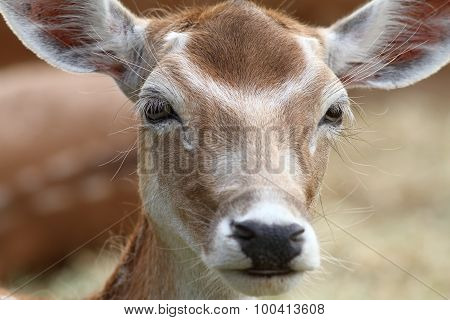 Portrait Of Fallow Deer Hind
