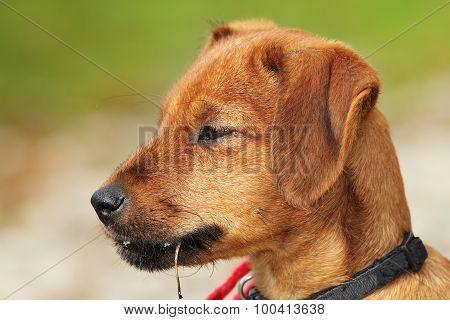Vizsla Puppy Portrait