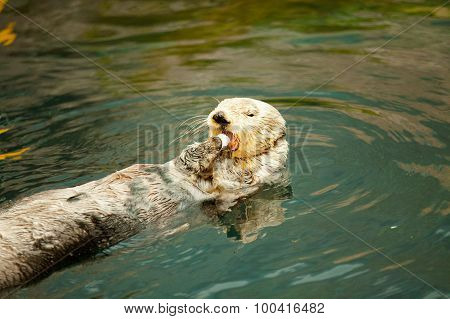 Sea Otter Eating With Mouth Opened.