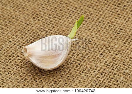 germinating garlic clove on burlap canvas background