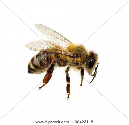 Bee isolated on the white. macro of a living insect.