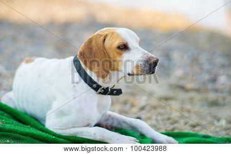 Homeless Dog On Beach
