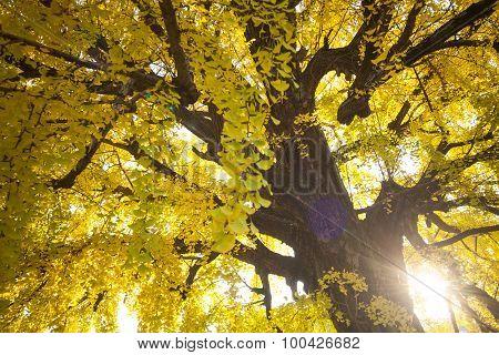 The Fall Season Of Nishi Honganji Temple In Kyoto
