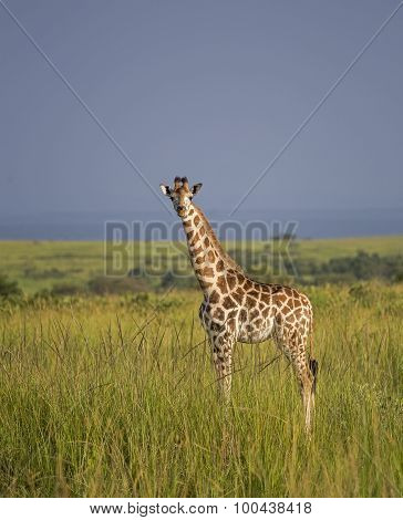 Giraffe in the savanna