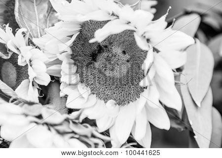 B/w Sunflower Detail