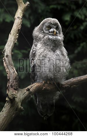 Great grey owl (Strix nebulosa). Wild life animal.