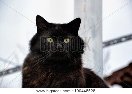 Portrait Of A Beautiful Black Chantilly Tiffany Cat At Home