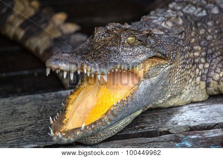 Staring Crocodile