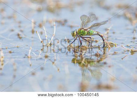 Female Emperor Dragonfly Depositing Eggs