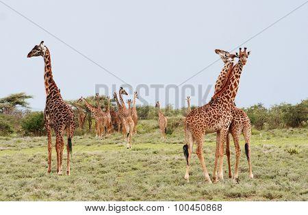 Many Giraffes Grazing In The African Bush, Serengeti Reserve, Tanzania.