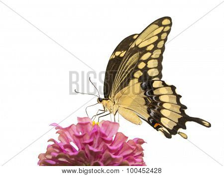 Giant Swallowtail butterfly feeding on a pink Zinnia, isolated on white
