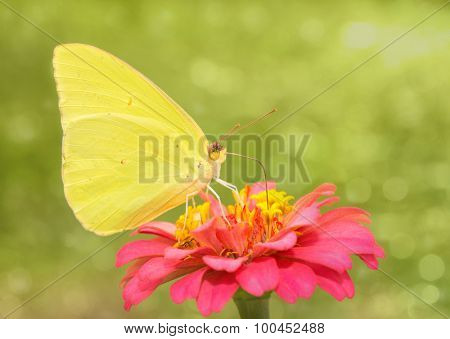 Dreamy image of a bright yellow Cloudless Sulphur butterfly