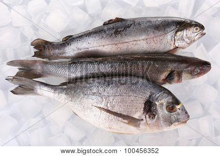 Fresh fishes on ice background