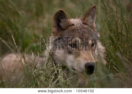 European Wolf Hiding In The Long Grass