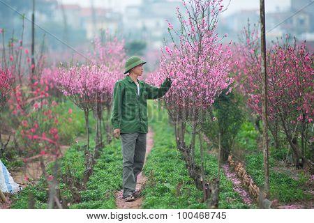 Farmer take care peach flower garden in Hanoi, Vietnam