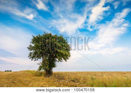 Stubble Field With Single Tree