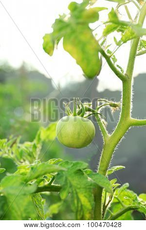 Green tomatoes growing on branches