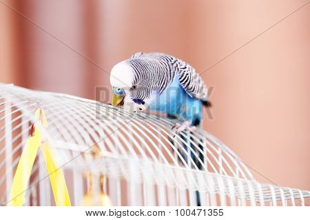 Budgerigar at home on bright background