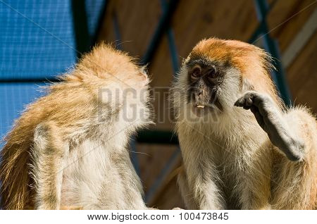 Macaque Monkeys In Zoo