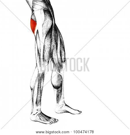 Concept or conceptual 3D gastrocnemius human upper leg anatomy or anatomical and muscle sketch isolated on white background