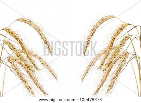 ears of rue isolated on white background