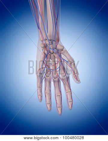 medically accurate illustration of the circulatory system - hand