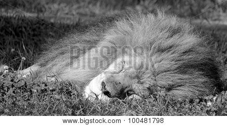 Male lion: