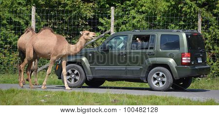 Camels ride around cars