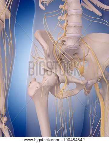 medically accurate illustration - nerves of the  hip
