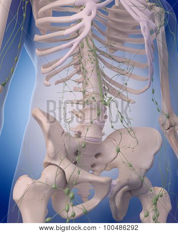 medically accurate illustration of the lymphatic system - the abdomen