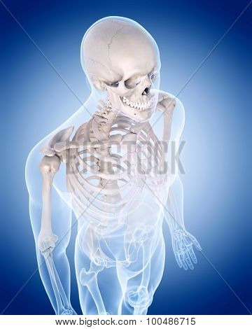 medically accurate illustration of the human skeleton - the upper body