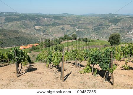 Rows of grapevines in the Douro Valley