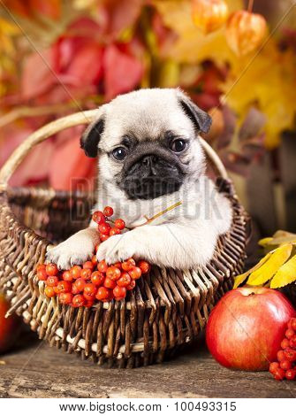 pug puppy and rowan berries