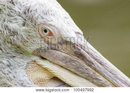 Portrait Of A Dalmatian Pelican