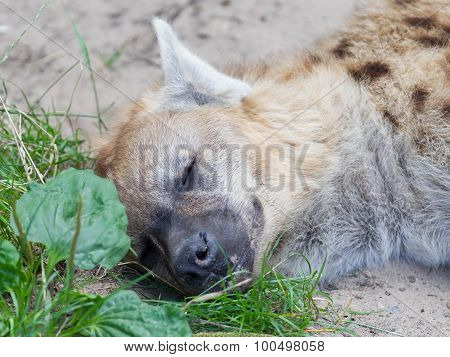 Hyena Sleeping In The Grass