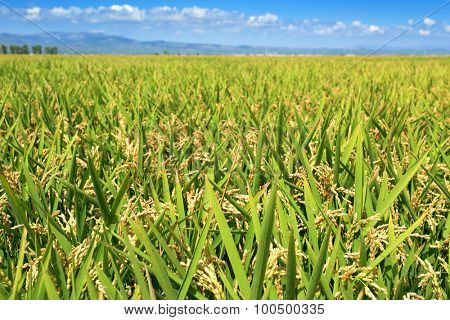 panoramic view of a paddy field in the Ebro Delta, in Catalonia, Spain, with the ripe rice in the plant before harvesting