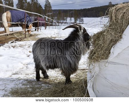 Dwarf, pygmy goat and it´s hay.