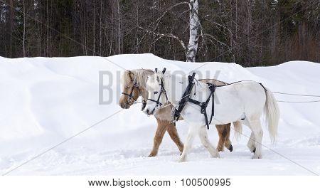 Two Icelandic horses.