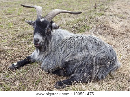 Dwarf pygmy goat on the ground.