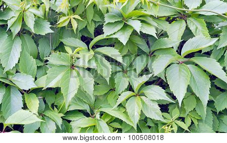 Climbing Plant Green Leaves