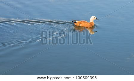 Duck Floats On Smooth Water