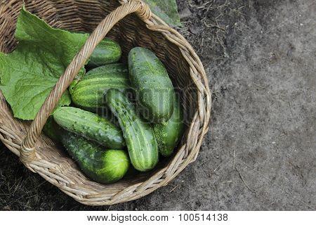 Harvest Cucumbers In A Wattled Basket