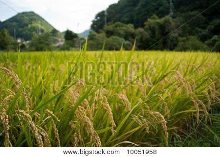 Closeup Of A Rice Field In Amami Japan