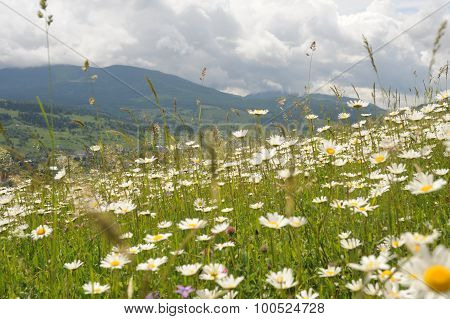 Camomile Medow In Mountains