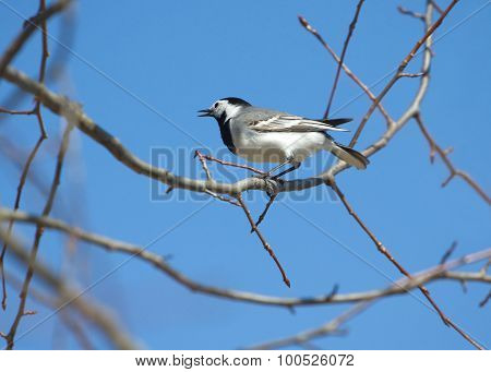 White wagtail bird sits on tree branch in spring